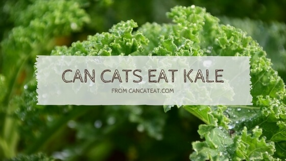 11 Benefit With Can Cats Eat Kale | You Should Not Miss