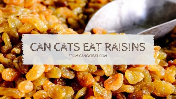 11 Unexpected  Facts  Of  Can Cats Eat Raisins | You Should Not Miss It