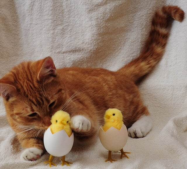 do cats eat eggs in the wild
