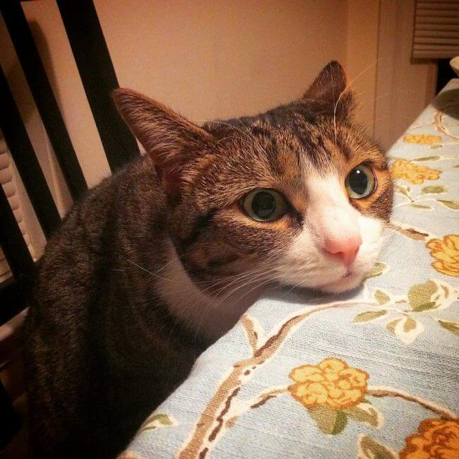 can cats eat hamburger and rice