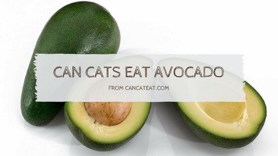 10 Things About Can Cats Eat Avocados | Why It Is Safe For Cats