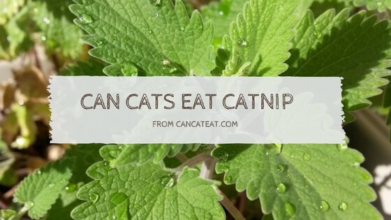 12 Things About Can Cats Eat Catnip Will Benefit Your Cats
