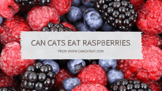 16 Facts About Can Cats Eat Raspberries You Should Not