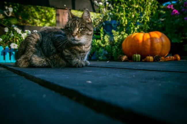 how often can cats eat pumpkin
