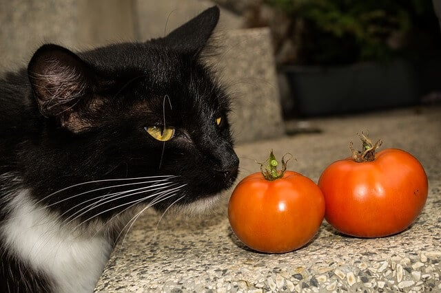 can cats eat grape tomatoes