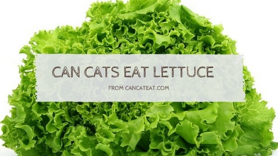 17 Things About Can Cats Eat Lettuce Will Benefit Your Cats