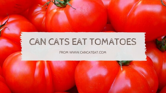 17 Things About Can Cats Eat Tomatoes | You Should Read It