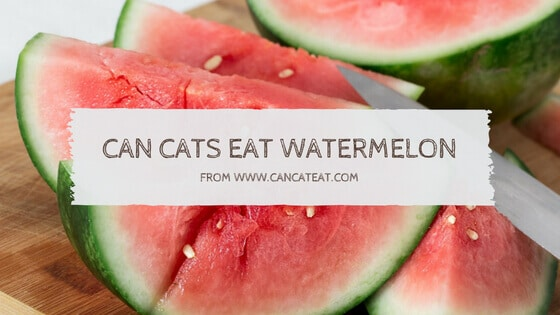 15 Things About Can Cats Eat Watermelon | Why Cats Enjoy Watermelon