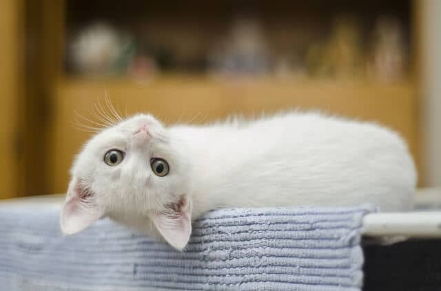 Domestic Cute Kitten White Feline Cat Cute Cat