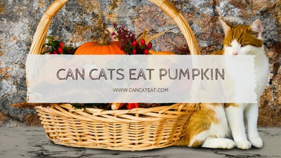 13 Beneficial Fact About Can Cats Eat Pumpkins | Is Pumpkin Good For Cats