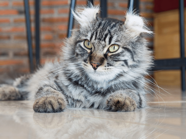 American Curl Cat Breed | Here are 7 Facts and Personality Traits